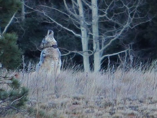 This gray wolf was the first seen in northern Arizona in 70 years before she was shot in 2014.