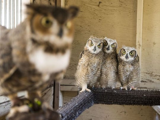 Young great horned owl nestlings now are safe at Liberty