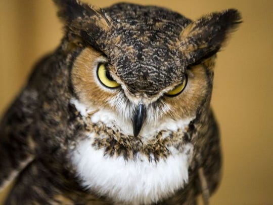 Maggie, the great horned owl acts as a foster mom to