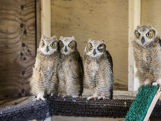 These four great horned owlets were orphaned when their