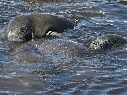 Manatees gather recently in the Indian River Lagoon.