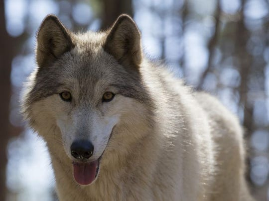 A wolf dog at Howling Woods Farm in Jackson