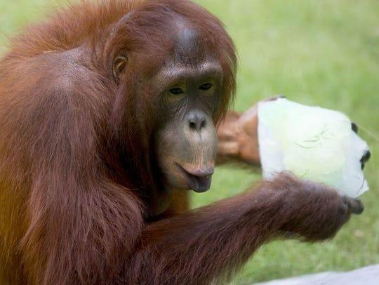 Kasih, an orangutan at the Phoenix Zoo, celebrating