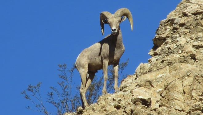 A Peninsular bighorn ram scans the area from a high vantage point.