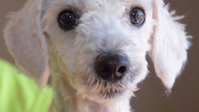 Curtis - Male poodle, adult, Intake date: 8/28/2017
