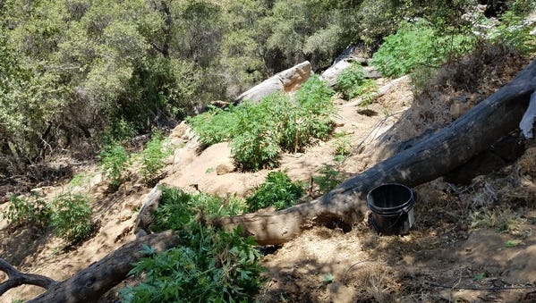 Three men have been chargedwith conspiracy to grow marijuana with the intent to distribute it and damaging public lands and natural resources.