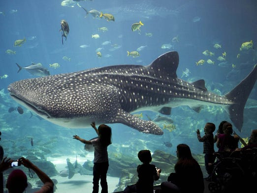 the characteristics of the whale shark the largest species of fish A shark, not a whale a whale shark is a fish and breathes via its gills the  these characteristics, together with the species' naturally low abundance, make whale shark populations highly susceptible to over-exploitation whale sharks are the largest fish in the ocean, usually growing to 12 metres in length, although a fully-grown.