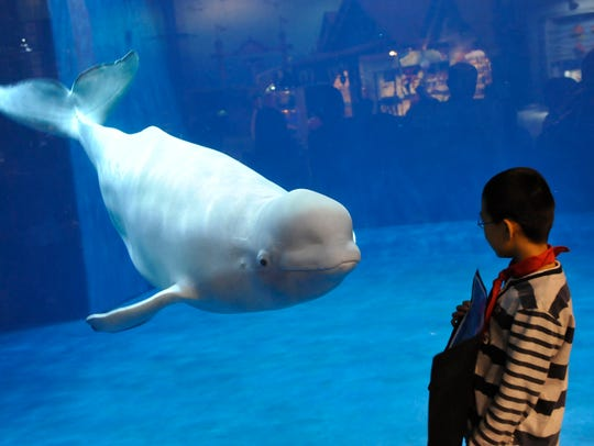 A visitor admires a beluga or white whale at the Beijing