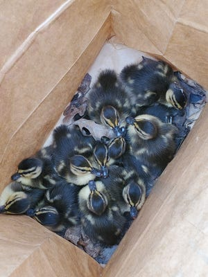 Eleven baby ducks were rescued from a storm water drain in Brimfield Township Tuesday morning.