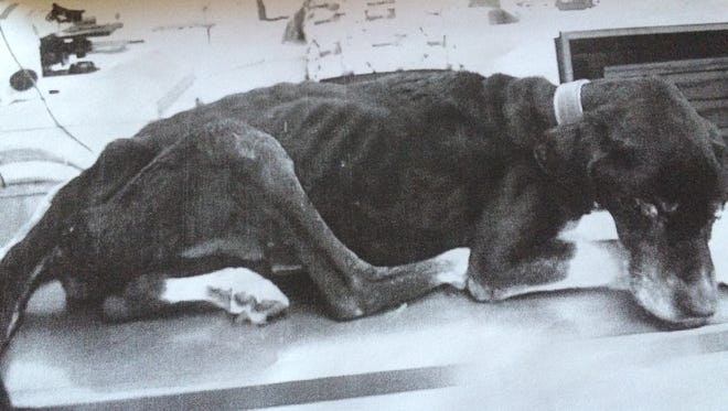 A copy of a photo used as evidence in the trial shows a dog that was nearly starved to death in 2014 in Augusta County. It was later euthanized.