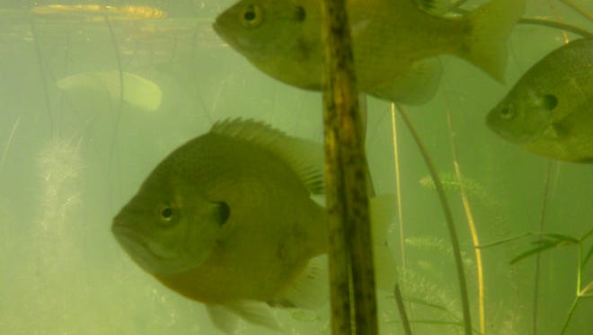 Bluegills will stick together in small packs as they hunt under the shelter of the lily pads.