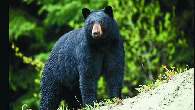 The Missouri Conservation Commission recently gave final approval to MDC for Missouri's first black bear hunting framework. MDC will present harvest and permit recommendations in the spring for a possible first season in October 2021.