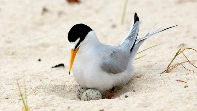 FILE - In this Saturday, May 1, 2010 file photo, a least tern checks her two eggs on the beach in Gulfport, Miss. The interior least tern, a hardy Midwestern bird that survived a craze for its plumage and dam-building that destroyed much of its habitat, has soared off the endangered species list. Federal officials said Tuesday, Jan. 12, 2020, that 35 years of legal protection and habitat restoration efforts had brought the tern back from the brink of extinction.