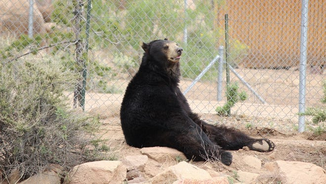 One of the five American black bears, Bucky, relaxes in the Arizona sanctuary.