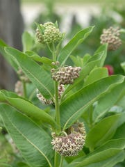 Milkweed is one of the most important plants to support