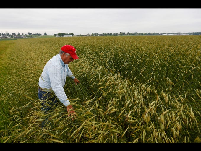 Wayne Siela walks into a field of cereal rye June 11,