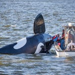 John Wifler, the pilot of the fake fiberglass orca, is pulled from the capsized vessel in the Columbia River outside of the East End Mooring Basin on Thursday in Astoria, Ore.