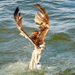 Ospreys: Mississippi's deadliest anglers