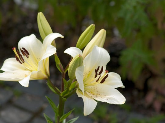The flower most synonymous with Easter is the beautiful Easter lily, regarded as a symbol of beauty, hope and life.