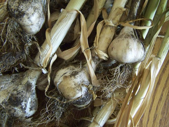 Garlic pulled from the garden dries in a shady, warm, well-ventilated area before being cleaned up and stored for later use.