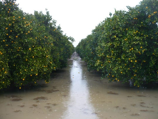 Days of rain results in deep, standing water along the edge of an orange grove north of Exeter. Because of the wet, muddy conditions, citrus farmers have have to hold off on harvesting their crops until the weather dries. Photo taken on 12/20/10 in Exeter. Photo by David Castellon 1220_Citrus_0355 Camera data: 12/20/10 at 1:05:07 PM, ISO 100, 1/80 @ f/2.8, WB=, 6.1mm, , , frame 0355.