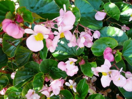 BabyWing Pink Begonia Photojpg