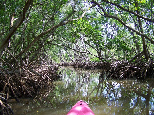 A unique experience awaits kayak paddlers in Sarasota