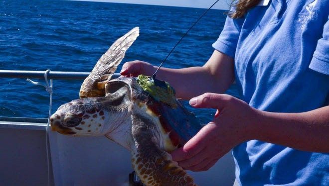 Paddles, a loggerhead sea turtle that spent a year at the Newport Aquarium, gets a tracker device before she is released off the coast of North Carolina.