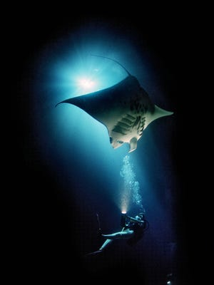 This 2014 photo provided by Discovery Channel shows a manta ray in Lamakera, Indonesia