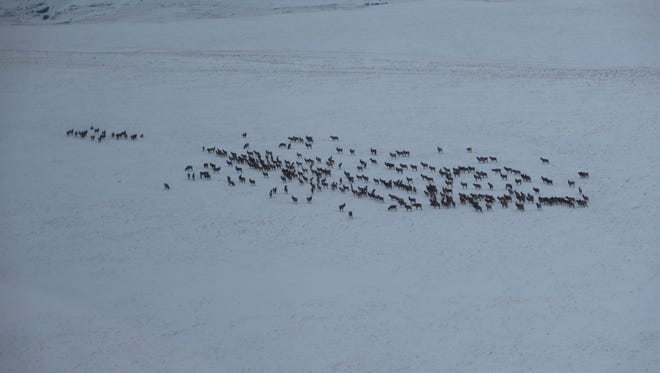 When elk congregate in winter they can create damage on private land.