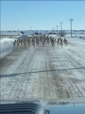 A herd of antelope run in front of Shawn Barber's car as he drives down a Meade County road.