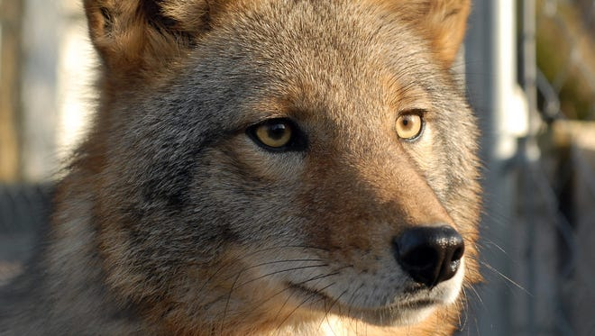 The coyote hunting season may change in Michigan.