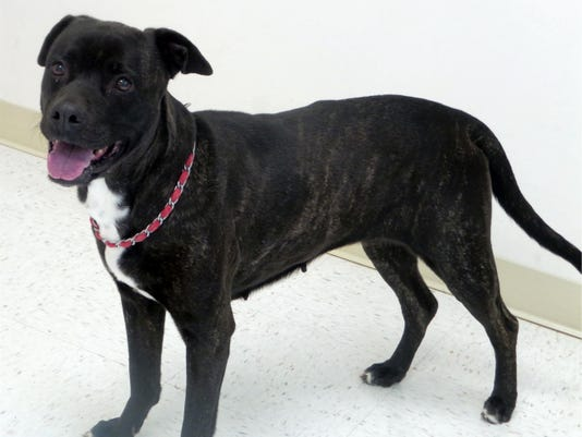 Onyx, 7, is a female pit bull terrier mix who knows how to sit, shake, and speak. She is very friendly.