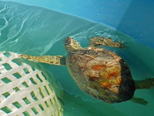 Brevard Zoo Sea Turtle rehab