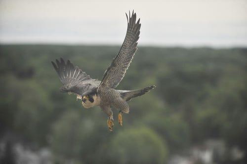 peregrine-falcon-population-on-the-rise-in-michigan