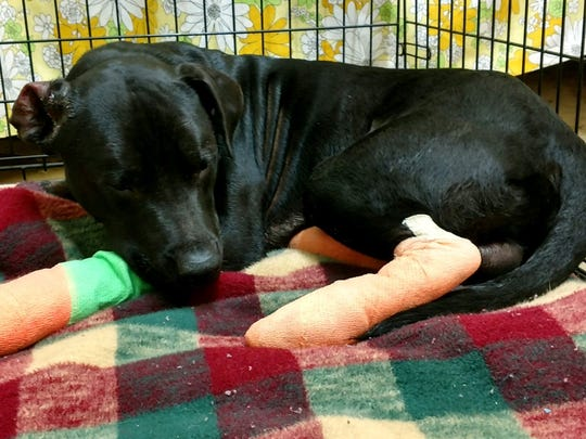 The dog injured while allegedly being drug behind a