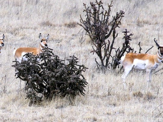 Some of the pronghorn use cholla plants for cover.
