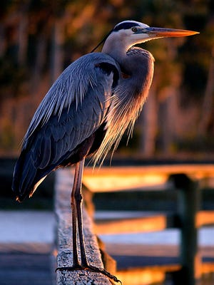 The Blue Heron came be found all over North America.