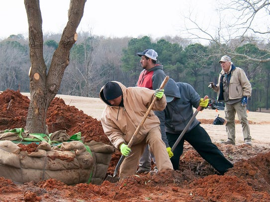 A crew works to plant the new oak outside of Moore
