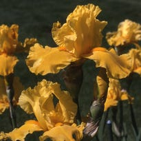 One of the most colorful perennials, the bearded iris, is ignored by white-tailed deer.