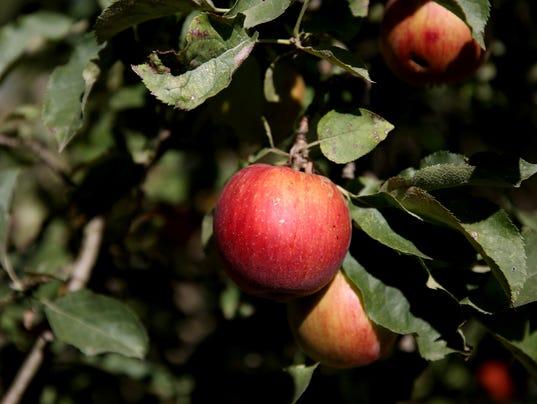 636422368974453728-U-Pick-Apples-ar-03.JPG
