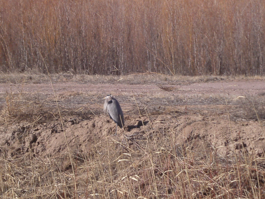 Shoulders hunched against the cold, a lone great blue