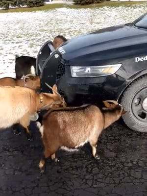 A Webster police officer found these goats in the roadway and they began licking the salt off his car.