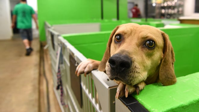 A dog peeks over his shelter wall near Matthew Eldridge visiting other cats and dogs at The Pickens County Humane Society in Liberty earlier this year. The Pickens County Humane Society announced Tuesday that it will close by the end of the year.