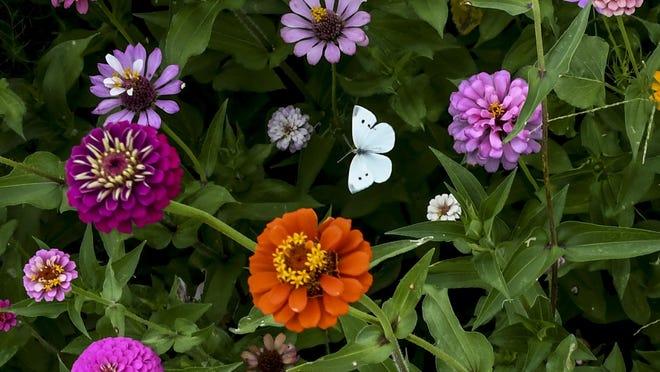 "A small butterfly, center, flies from blossom to blossom in Bernadine Sitts Intermediate Center's ""Butteryfly Buffet"" garden."