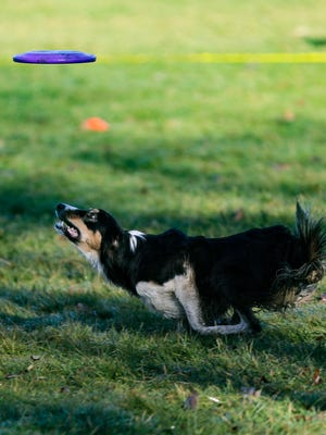 Toss & Fetch is looking for dogs and owners for the league's Frisbee catching competition.