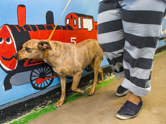A volunteer inmate from the Maricopa County Jail walks Lindy in the Maricopa Animal Safe Haven (MASH) Unit. Abused and neglected animals that have been confiscated are housed in the unit and many inmates in the jail volunteer to care for them.