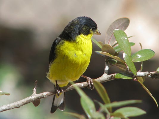 Lesser-Goldfinch