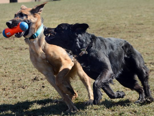 Ziva, a 10-month-old German Shepherd from York, plays with Squeaker, a 2-year-old Labrador-Pit bull mix from Columbia, at Canine Meadows Dog Park in East Manchester Township on National Puppy Day, Thursday, March 22, 2017.  John A. Pavoncello photo