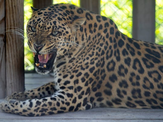 The leopard is one of the more fierce cats at Kowiachobee Animal Preserve in Golden Gate Estates.